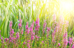 Purple wildflowers background Royalty Free Stock Photography