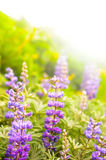 Purple Wildflowers royalty free stock images