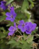 Purple Wildflowers. In a field Stock Photo
