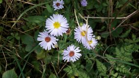 Purple wildflowers in hedgerow. Plants nature Stock Photography