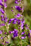 Purple wildflowers Stock Images