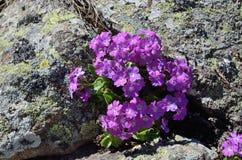 Purple wildflowers on the stones Stock Image