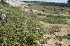 Purple wildflowers survive among the ruins Stock Photo