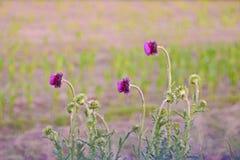 Purple wildflowers. Purple wildflower on side of road Stock Images