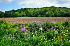 Purple Wildflowers. Purple and Yellow wildflowers blooming in a field in front of a farm field in Wisconsin Stock Photos