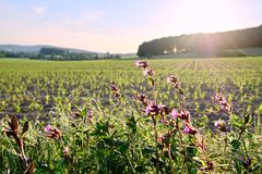 Purple wildflowers on a young corn field at sunset stock photos