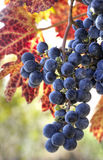 Purple wine grapes Royalty Free Stock Photo