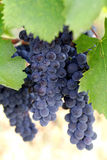 Purple wine grapes Royalty Free Stock Photos