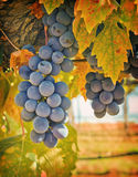 Purple Wine Grapes, California. Purple wine grapes on the vine with the changing leaves of the fall in a vineyard in Amador County, in the Gold Country (Mother royalty free stock photo