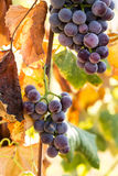 Purple Wine Grapes Growing On Vine in Vineyard Stock Photography