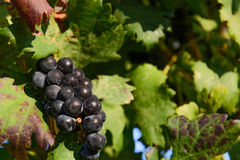 Purple wine grapes in a vineyard Royalty Free Stock Photo