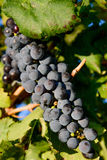 Purple wine grapes in a vineyard Royalty Free Stock Images