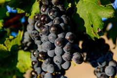 Purple wine grapes in a vinyard Stock Image