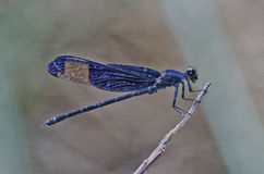 Purple wing damselfly. In the parks Royalty Free Stock Photos