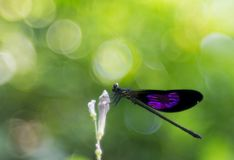 A purple winged damselfly on flower bud. Photo of a purple winged damselfly on a flower bud taken with nikon d3200 and fujinon 55mm lens stock photo