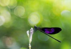 A purple winged damselfly on flower bud