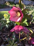 Purple winter rose. Blooming in sunny garden Stock Photo