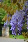 Purple wisteria. Japanese purple wisteria flowers in Ireland Stock Image