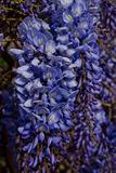 Purple wisteria Stock Image