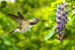 Purple wisteria blooms with Hummingbird Royalty Free Stock Photos