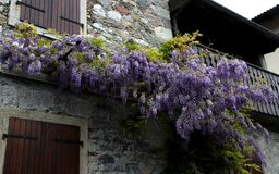Purple Wisteria blossom branch on the wall Royalty Free Stock Images