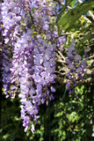 Purple wisteria blossoms Royalty Free Stock Photos