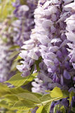 Purple wisteria close-up Royalty Free Stock Image