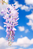 Purple Wisteria with Copy Space Royalty Free Stock Photography