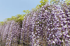 Purple wisteria flowers Stock Image