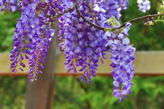 Purple wisteria flowers,Bean Tree,Chinese Wisteria,Purple Vine stock photos