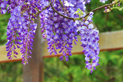 Purple wisteria flowers,Bean Tree,Chinese Wisteria,Purple Vine royalty free stock image