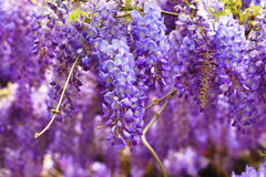 Purple wisteria flowers,Bean Tree,Chinese Wisteria,Purple Vine royalty free stock images