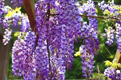 Purple wisteria flowers,Bean Tree,Chinese Wisteria,Purple Vine royalty free stock photo