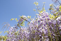 Purple wisteria flowers Stock Images