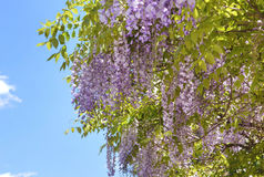 Purple wisteria flowers. Spring lilac flower. Royalty Free Stock Photo