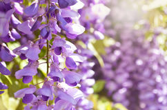 Purple wisteria flowers. Spring lilac flower. Royalty Free Stock Images