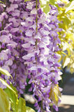 Purple wisteria flowers. Spring lilac flower. Stock Image