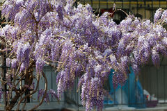 Purple wisteria flowers in spring. Royalty Free Stock Photo