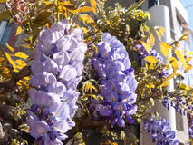 Purple Wisteria plant Royalty Free Stock Photos