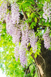 Purple Wisteria Royalty Free Stock Photo