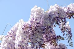 Purple wisteria sinensis flowers. In blue sky stock images
