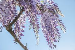 Purple wisteria sinensis flowers. In blue sky royalty free stock photography