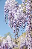 Purple wisteria sinensis flowers. In blue sky royalty free stock image