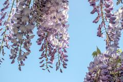 Purple wisteria sinensis flowers. In blue sky royalty free stock photo