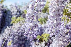 Purple wisteria sinensis flowers. In blue sky royalty free stock photos