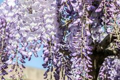 Purple wisteria sinensis flowers. In blue sky stock photo