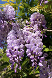 Purple wisteria vine Stock Photos