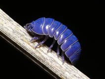 Purple wood-louse Royalty Free Stock Photos