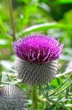 Purple woolly thistle. Royalty Free Stock Photography
