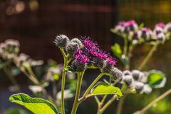The purple wooly burdock flowers in the garden in summer on a blurred green background. The purple wooly burdock flowers are in the garden in summer on a blurred stock images